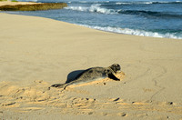 A Hawaiian monk seal encounter