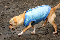 Dog in a Blue Vest