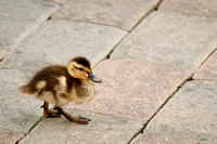 Why The Duckling Crossing The Road?