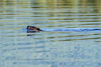 A beaver at Widgeon Creek