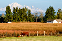 Cows and Mount Baker
