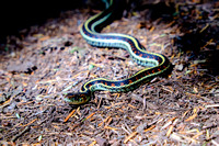 A Garter Snake on a trail in Port Moody