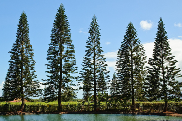 Cook Island Pine Hawaii
