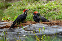 Pileated Woodpeckers - adult and young